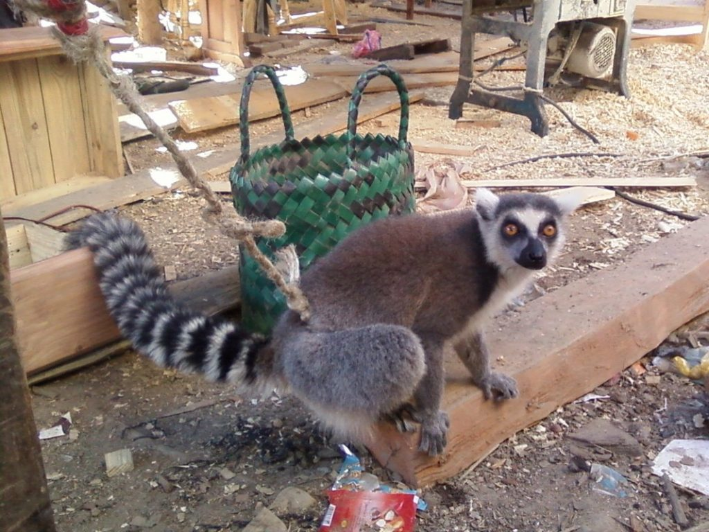 Conservation_lemur_captivity