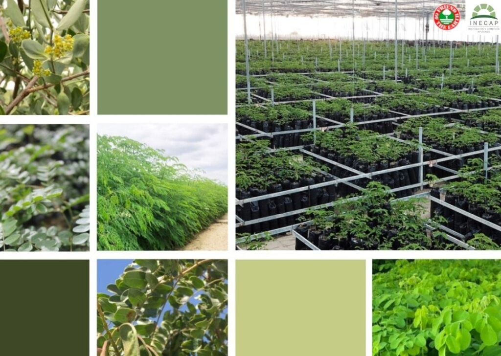 Friend of the Earth Certifies INECAP for Sustainable Production of Moringa, Tara, and Jojoba.