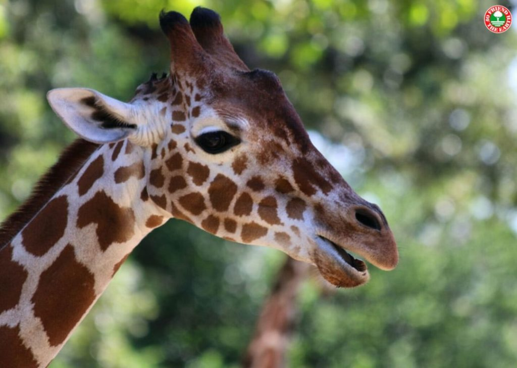 Petition Demands End to Trade in Giraffe Products in Honor of World Giraffe Day